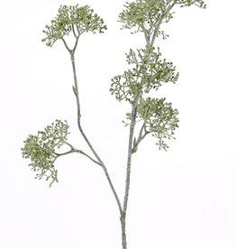 Doldenblütler 'SummerBreeze', 2 Verzweigungen, 6 Dolden, 60cm