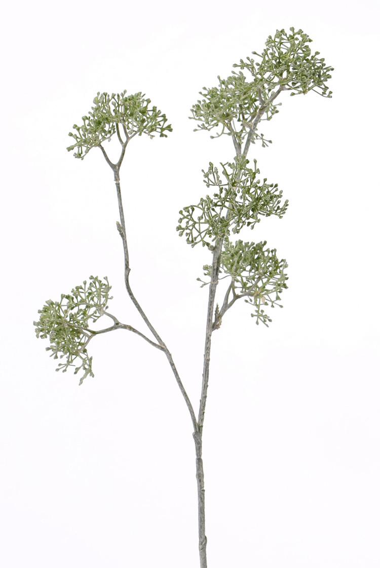 Apiaceae / Umbelliferae 'SummerBreeze', 2 branches, 6 clusters, 60cm