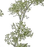 Schermbloem 'SummerBreeze', 2 vertakkingen, 6 clusters, 60cm