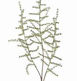 Asparagustak (acutifolius) 'wilde asparagus' met 3 vertakkingen, 73cm