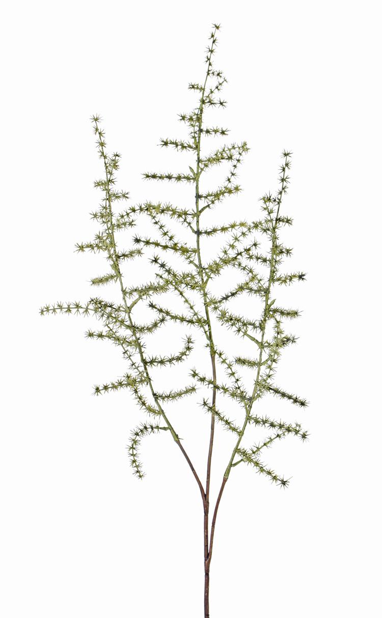 Spargelzweige (acutifolius) 'wild asparagus' mit 3 Verzweigungen, 'AutumnBreeze', 73cm