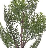 Zypresse Zweig (Cupressus) 'Top Green', 13 Blätter, 60cm