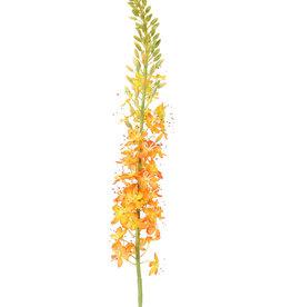 Eremurus,  (50 x 9cm), 47 flores & 89 capullos, 106cm