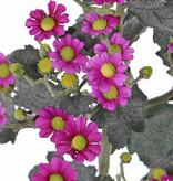 Tanacetum (Wucherblumen) 'AutumnBreeze', 9 Verzweigungen, 34 Blumen, (Ø 1,5 - 2cm), 20 Knospen, 16 Blätter, 60cm