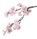 """Prunus serrulata (Jap. sierkers) """"Full blossom"""", x51flrs (16L/11M/24S) & 19bud, 91cm"""