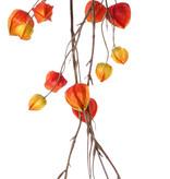 Physalisslinger (Lampionplant) x2, 'AutumnBreeze', 28 kelken (10Lg/9Md/9Sm), 120cm