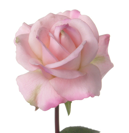 Rose Caroline 70cm real touch