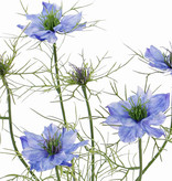 Nigella (Persian jewel) x6, 4 flowers & 2 buds, 15 sets of lwwweaves, 66cm