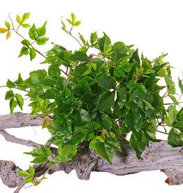 Wingerdbush (Parthenocissus) , 10 vertakkingen, 106 bladeren, PE blad, Ø 50 cm, h. 30 cm, UV bestendig