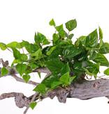 Pothos (Epipremnum), 100 leaves, PE, UVsafe