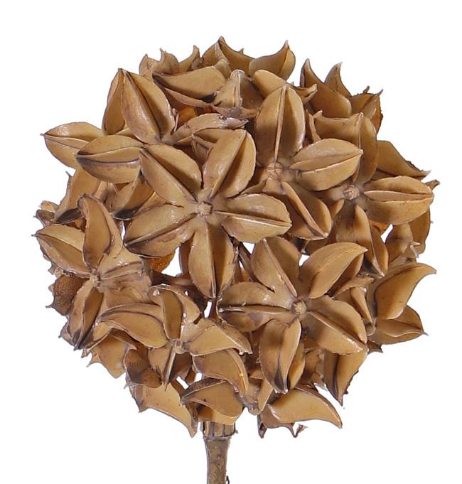 Anís Estrallado (Illicium verum) 'Dried Nature', deco bola, Ø 10cm, con tallo,  70cm