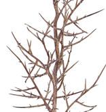 "Christusdoorn (valse) tak (Gleditsia triacanthos) """"Dried nature"""" x9 78cm - speciale prijs"
