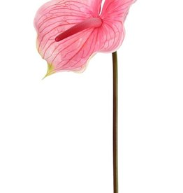 Anthurium, Flamingoblume, 70cm, Ø 18cm