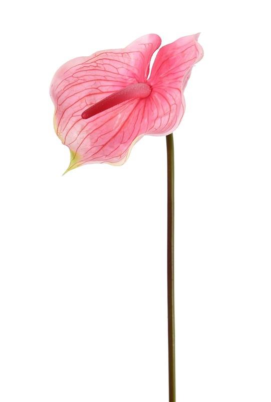 "Anthurium (Aronskelk) ""Coral"", 70cm, Ø 18cm"