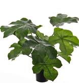 Jathropa podagrica (Flessenplant), 13 blad (4Lg/7Md/2Sm), H. 50cm / Ø 70cm