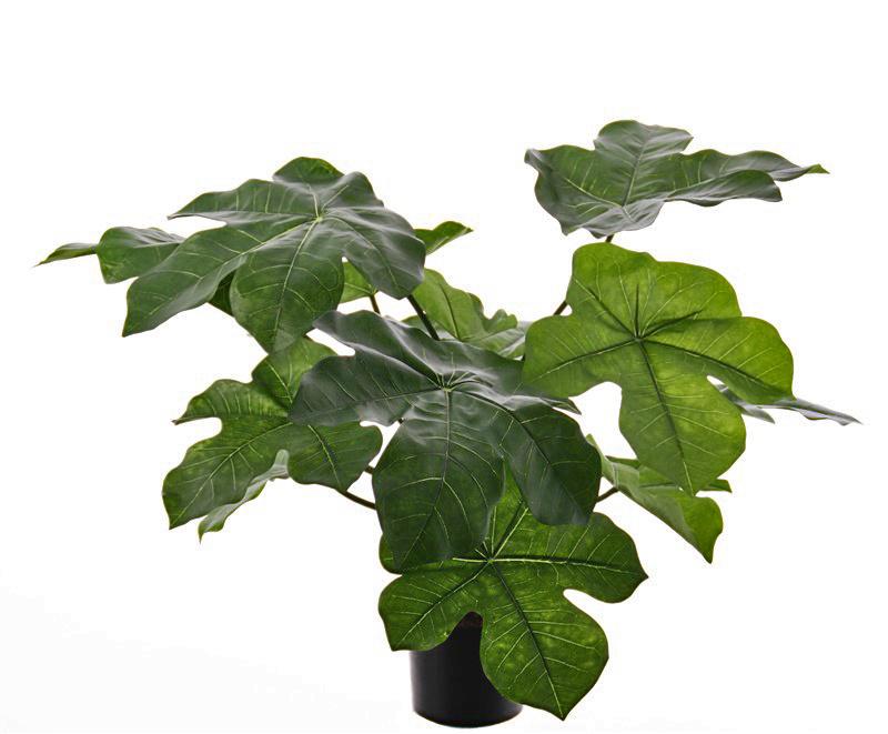 Jathropa podagrica, Flaschenpflanze, 13 Blätter, (4Lg/7Md/2Sm), H. 50cm / Ø 70cm
