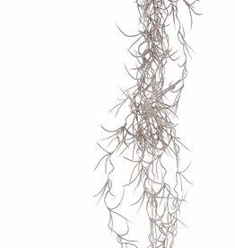 Tillandsia (Spanish moss) small, x12, 125cm
