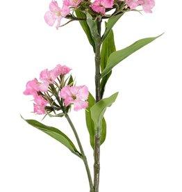 Dianthus barbatus, Bartnelke, 2 Blumenköpfe, 10 Blätter, 60cm