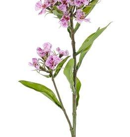 Dianthus barbatus, El clavel del poeta, 2 clusters flores, 10 hojas, 60cm