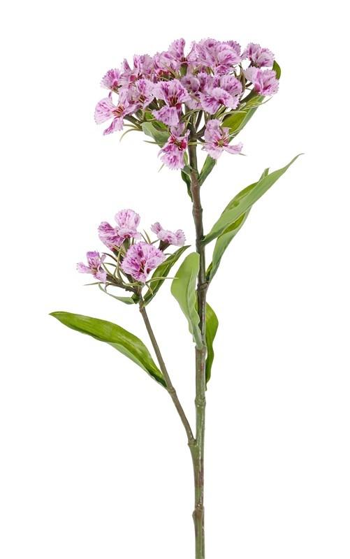 Dianthus barbatus, Sweet William, 2 clusters flowers, 10 lvs., 60cm