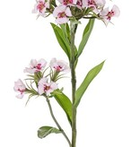 Dianthus barbatus, El clavel del poeta, 2 clusters flores, 10 hojas, 60 cm