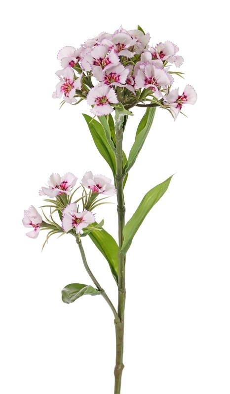 Dianthus barbatus, Sweet William, 2 clusters flowers, 10 lvs., 60cm