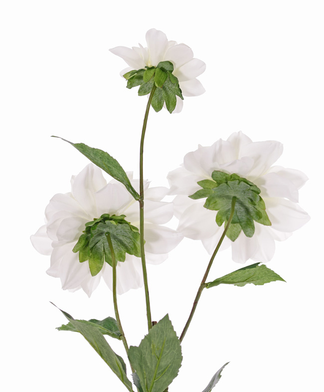 Dahlia 'New Beauty', 3 flores & 5 hojas, 76cm