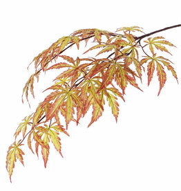 Acer (japanse) 70 cm,  36 lvs., autumn color