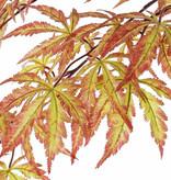 Acer (japanse) 70 cm,  36 lvs., autumn color