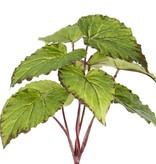 Begonia mit 9 Blättern, 25cm