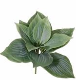 Hosta, 12 hojas, 25cm