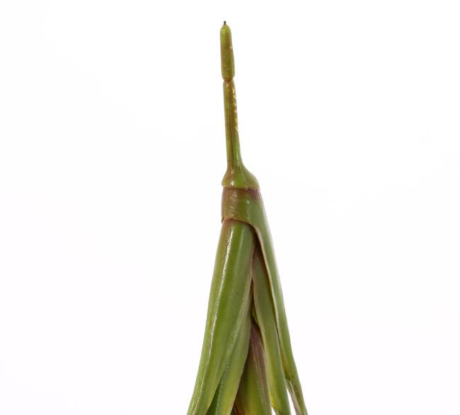 Bananenpflanze (Musa) mit 8 Blättern, 2sm/2me/4lg, (PE soft plastic), UV-sicher, 55cm