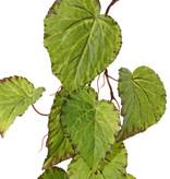 Begonia guirnalda, 18 hojas, 111cm