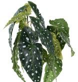 Begonia maculata, 14 bladeren, 38cm