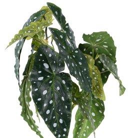 Begonia maculata (Stippenbegonia) met 3 vertakkingen, 14 bladeren, 38cm