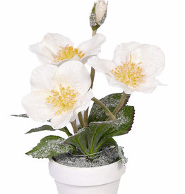 Christmas Rose, Helleborus with snow, paperpot, 4 flowers,1bud, 3 lvs, 26cm