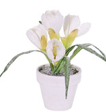 Crocus, with snow in white pot,  4 flowers, 5 leaves, 21cm