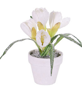 Crocus, met sneeuw in wit potje, 4 bloemen,  5 blad, 21 cm