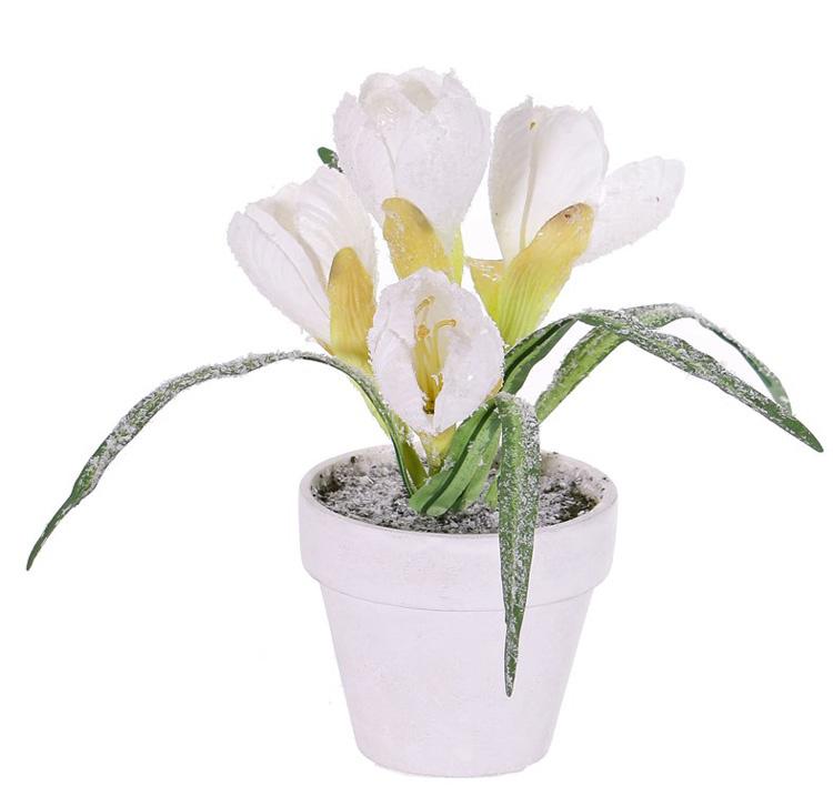 Krokus mit Schnee, 4 Blüten, 5 Blätter, 21 cm, im Topf