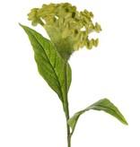 Celosia argentea 'Cristata' (la flor de amor), Ø 13cm & 2 hojas, 60cm