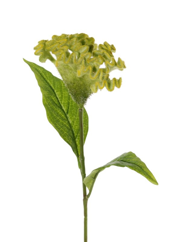 Celosia argentea 'Cristata' (Silber-Brandschopf, Hahnenkamm), Ø 13cm & 2 Blätter, 60cm