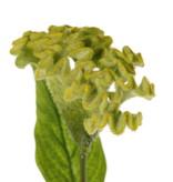 Celosia argentea 'Cristata' (Hanenkam), Ø 13cm & 2 blad, 60cm