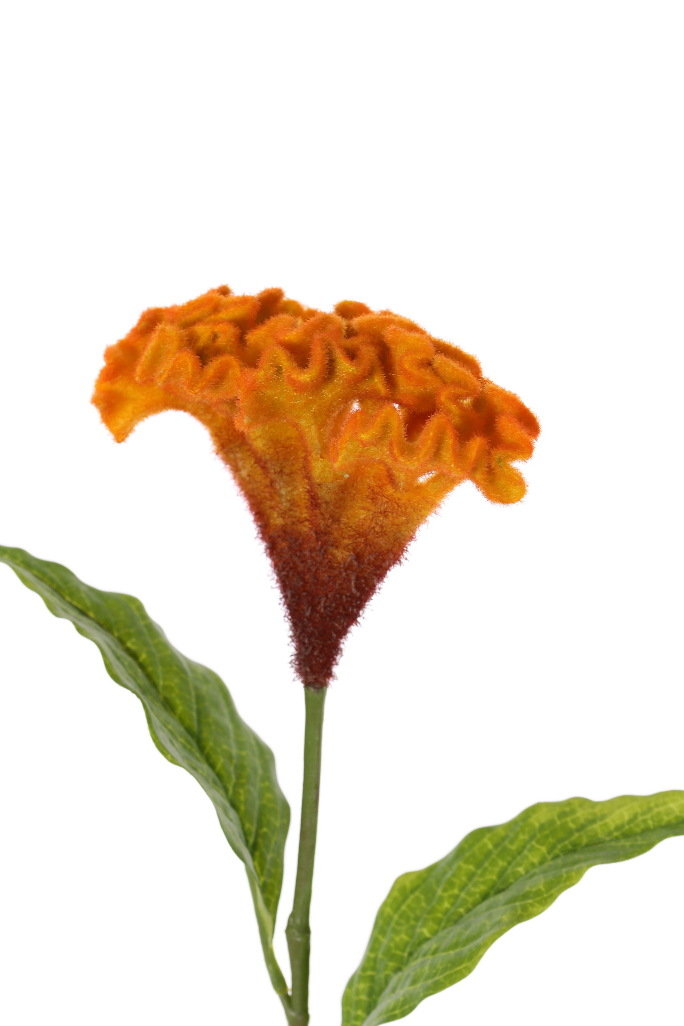 Celosia argentea 'Cristata' (plumed cockscomb), Ø 13cm & 2 lvs., 60cm