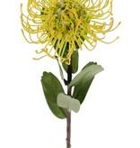 Leucospermum cordifolium (Nadelkissen), Ø 12cm, 9 Blätter, 53cm