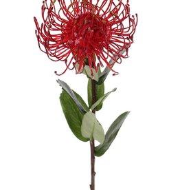 Leucospermum cordifolium (Speldenkussen), 1 bloem, Ø 12cm, 9 blad, 53cm