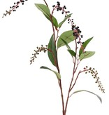 American pokeweed (Phytolacca americana), with clusters of berries, 11 lvs., 96cm
