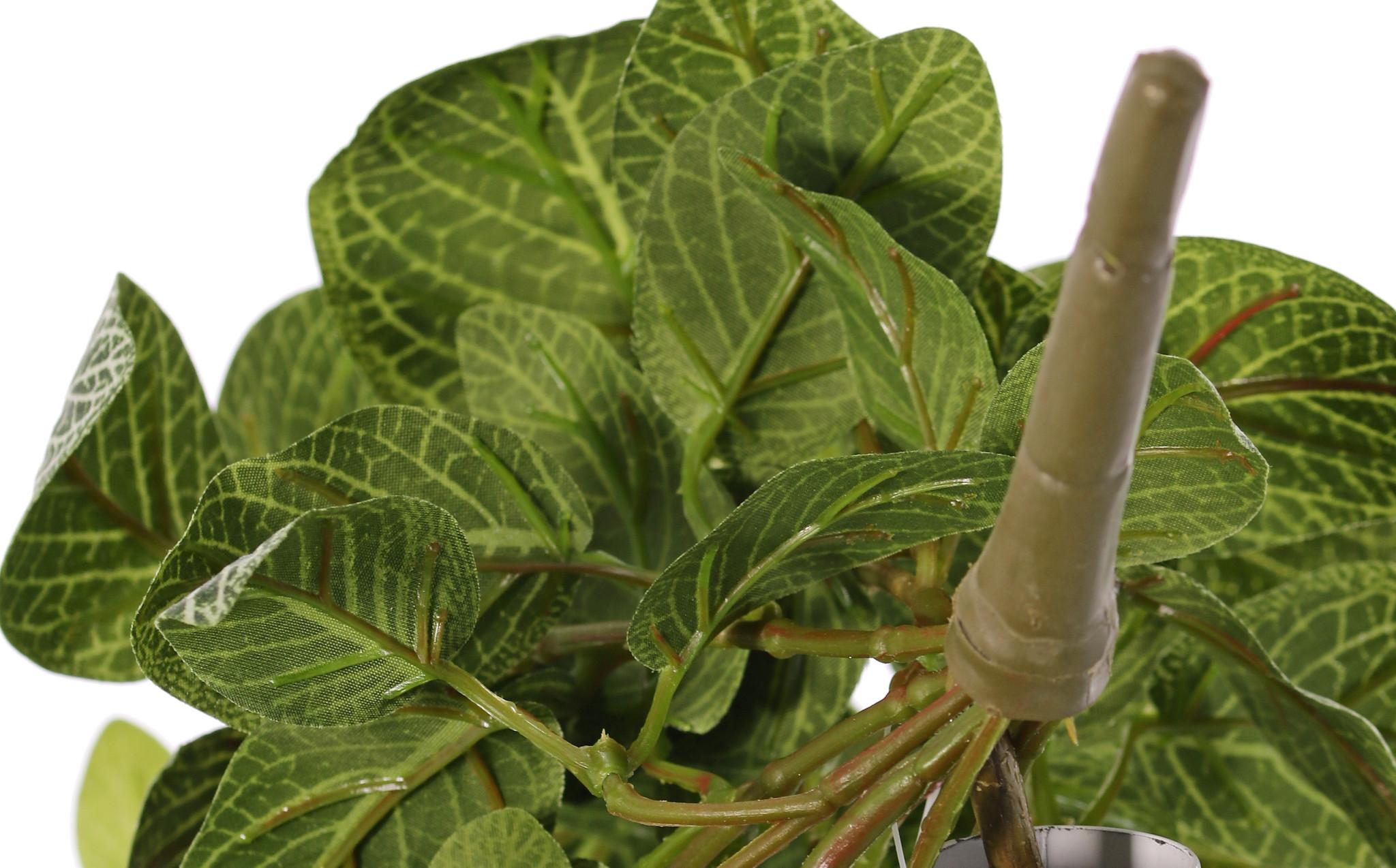 Fittonia (nerve plant), 'Top Green', 178 lvs., FR & UVsafe, 75cm