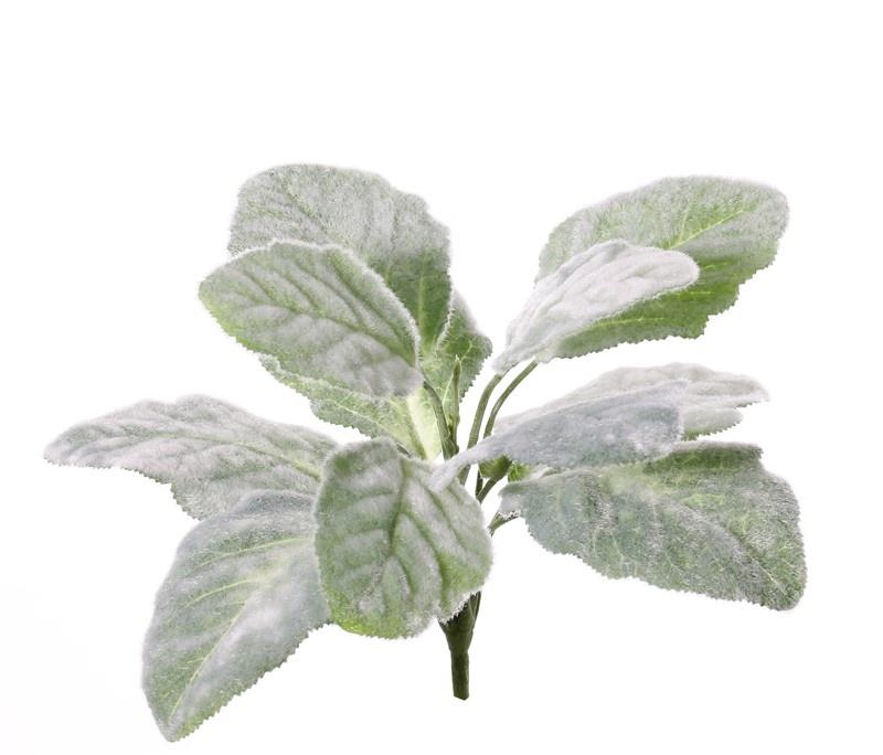 Salvia argentea (Zilversalie) plant, 11 bladeren, behaard, 25cm