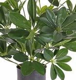 Schefflera bush 282Lvs 50cm in pot