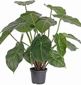 Purpurtute, Syngonium podophyllum